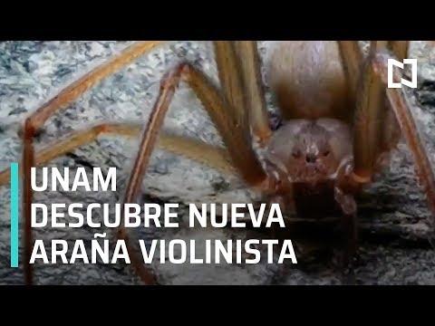 UNAM descubre nueva araña violinista - Las Noticias
