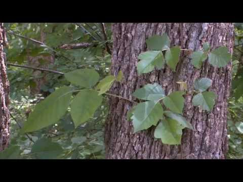 Poison Ivy - Discover Nature (KRCG)