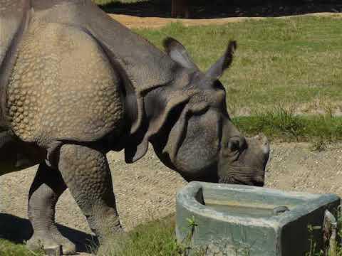A walking Indian rhinoceros