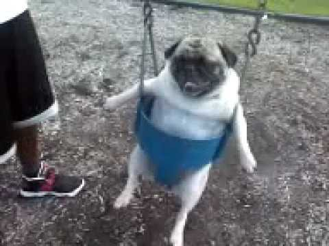 Must see Little Chubby Chubby Adorable Dog - hqdefault  HD_372096  .jpg