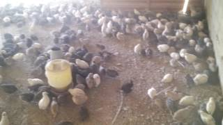 Twenty-first Generation Poultry Farm , Pakistan (Quails Farming)