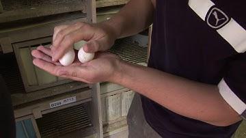 Vom Ei zur Taube