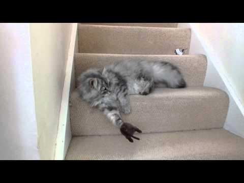 Siberian Cat vs Toy Rat