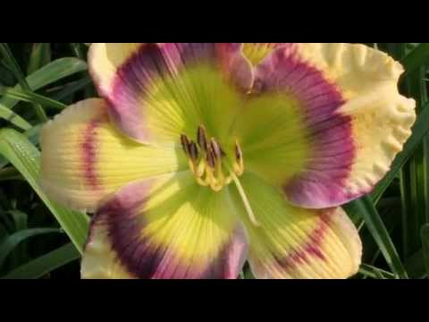 AHS The American Daylily Society Promotion
