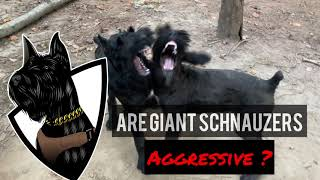 GIANT SCHNAUZER Temperament What are they like?