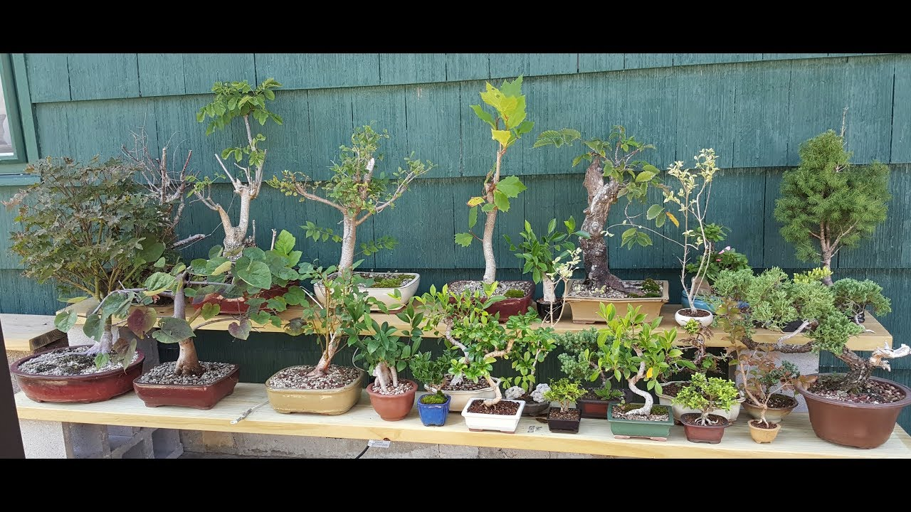 bass n 39 bonsai trees for sale cheap to expensive youtube