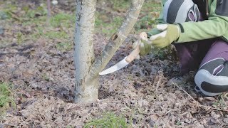 Pruning a Japanese Maple Tree with OSU Master Gardeners