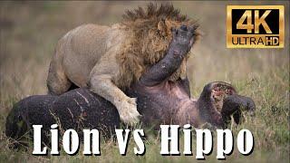 Unbelievable! Male Lion Takes Down a Hippo! 4k