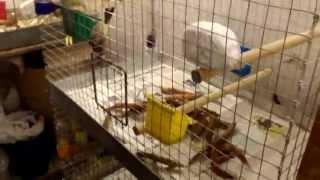 Клетка для разведения попугаев корелла.
