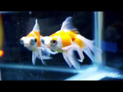 Rain Garden Ribbon-tail Telescope Goldfish Unboxing
