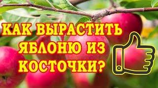 видео Как выращивать яблоню из семечка (косточки): заготовка семян, уход за саженцами