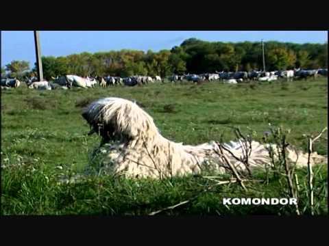 Komondor - fajta n&#23...