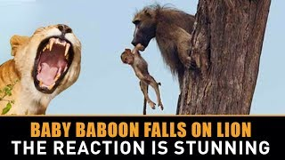 Baby Baboon Falls into a Lioness- Lap and the Lioness- Reaction Has the Whole World Stunned