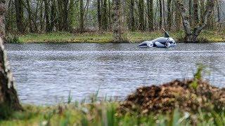 Orka's uitgezet in visvijver om aalscholvers te weren