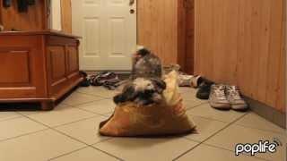 Harlem Shake Dog - Carlos The Shih Tzu