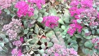 How to Get Free #Stonecrop #Sedum Every Year!