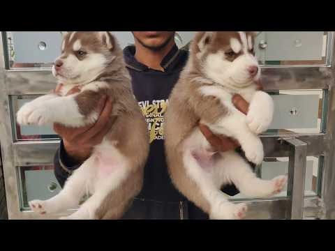 Siberian Husky - Doggyz World - 9319811881