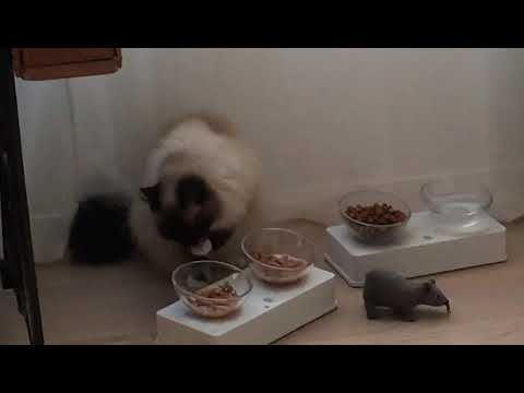 Birman cat with table manners