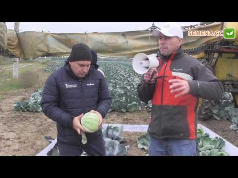 Зенон F1 капуста (Syngenta) День поля