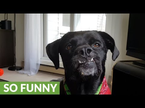 Dog with underbite really loves peanut butter
