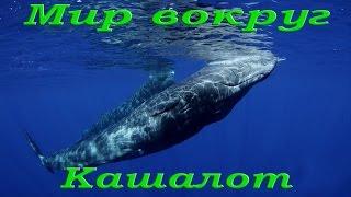Кашалот. Самое большое морское плотоядное животное.   Морской мир HDTVRip720p
