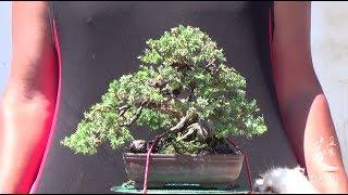 Pinzando shohin de juniperus procumbens nana