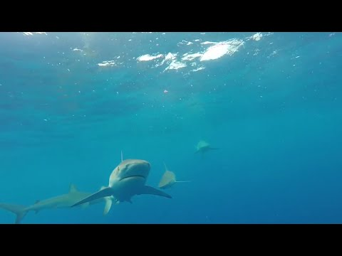 SHARK ATTACK!!!!! Vlog 5 - Oahu, Hawaii Shark Encounter - North Shore - Oahu Hawaii - Shark Diving