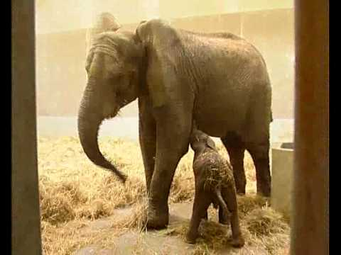 Baby Elephant Born at the Sóstó ZOO (Nyíregyháza, Hungary)