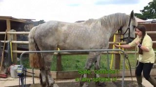 Shoeing heavy horses without stocks - draft horse shoeing and handling