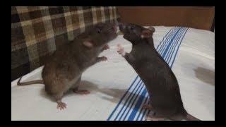 Первое знакомство Киви с другом (как назвали крысёнка?) декоративные крысы