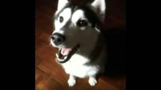 ไซบีเรียนไทยก็พูดได้ Thai Siberian Husky Can Say I Love You