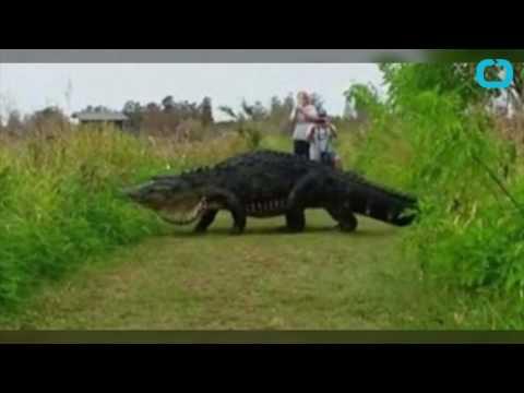 Hikers spot massive 13-foot alligator in Florida reserve