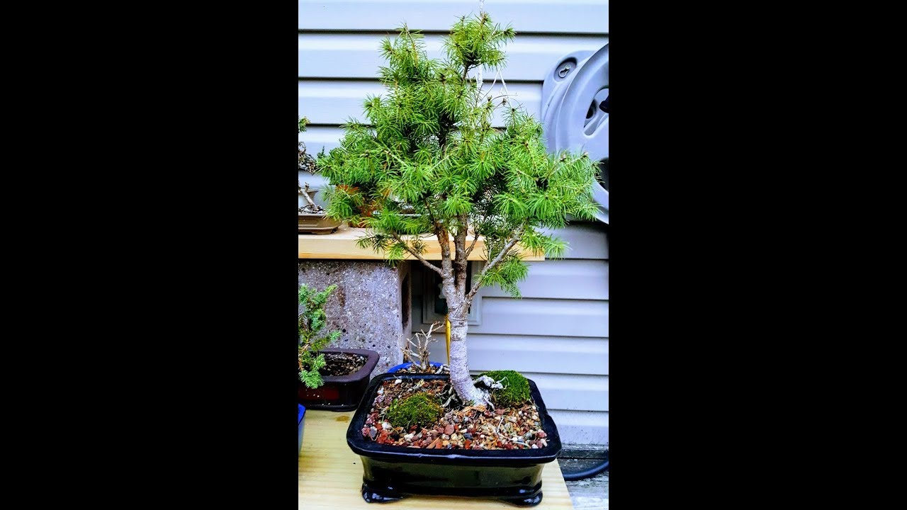 dwarf alberta spruce pt 2 bonsai trees for beginners youtube