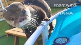 突然プールがスケートリンクになってて驚くカワウソ Otters Are Surprised by the Frozen Pool