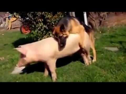 búfalo de apareamiento de rinoceronte y de cerdo de apareamiento perro