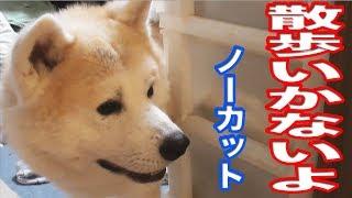 秋田犬の惣右介君、ジャーマンシェパード犬のマックは 待ってられません...