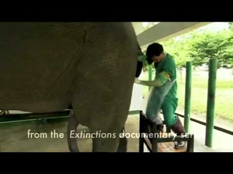 Elefant-Erektion!