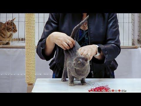 CFA International Show 2018 - Shorthair kitten class judging - Set 4