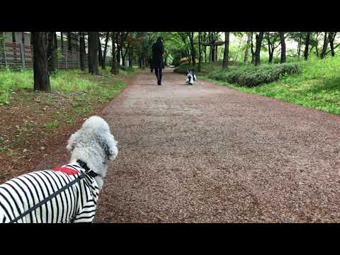 [Bedlington terrier] funny video🤣 Paul on the boots