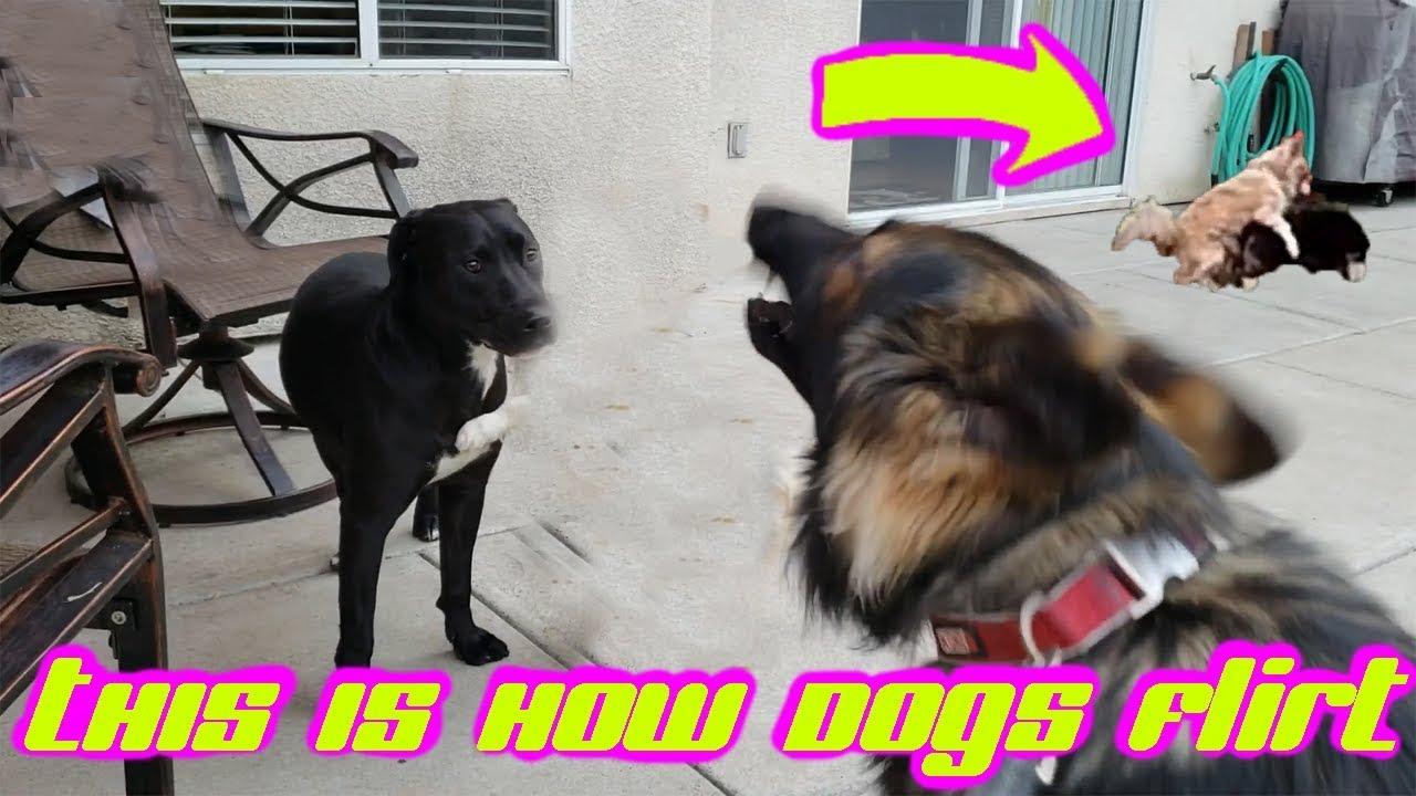 Macho Chihuhahua Teaches German Shepherd How To Seduce The Ladies (Pitbull)