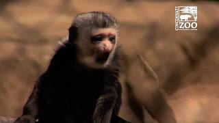 Baby Colobus Monkey Out in Time for ZooBabies - Cincinnati Zoo