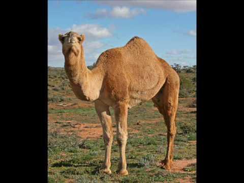 Camel penis pics
