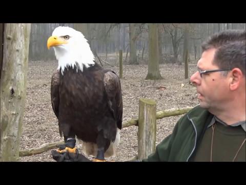 Einheimische Raubvögel gezähmt - Adler Habicht Bussard Eule Sperber