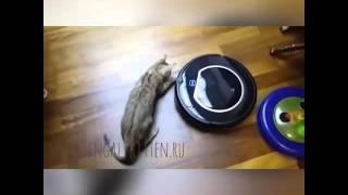Бенгальский котенок и пылесос