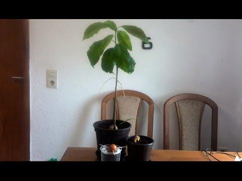 avocado pflanzen selber ziehen youtube. Black Bedroom Furniture Sets. Home Design Ideas