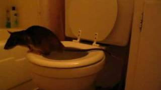 Emin's pouched rat toilet trained (Matisse)