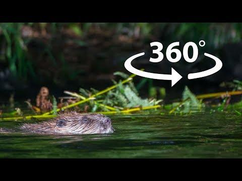 Beaver Encounter 360° 4K