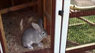Romeo Rabbit Commandeers Chicken Coop