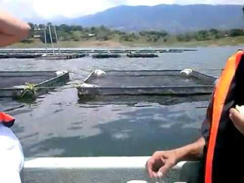Criadero de pescados en san pedro ixcatlan youtube for Criadero de pescado