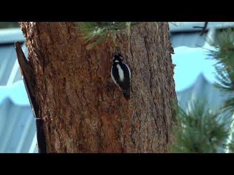 Woodpecker In Rocky Mountain National Park